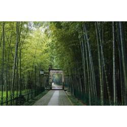 Dzinovski Trnoviti Bambus Seme Thorny bamboo 1.6 - 1