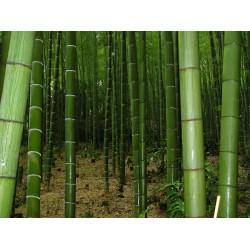 Semillas de Bambú gigante 1.6 - 2