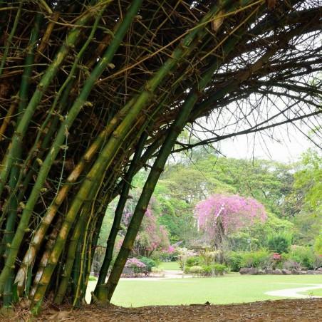 Dzinovski Trnoviti Bambus Seme Thorny bamboo 1.6 - 3