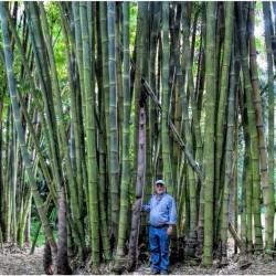 Sementes De Bambu Bambusa...