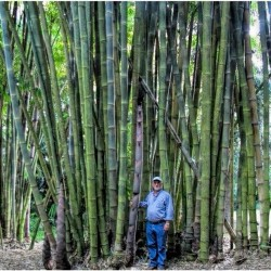 Semi di Bambusa arundinacea...