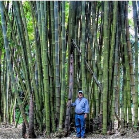 Dzinovski Trnoviti Bambus Seme Thorny bamboo 1.6 - 4