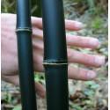 Graines de Bambou gaulette