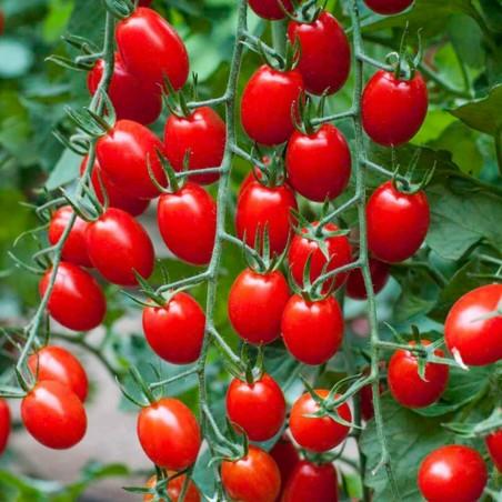 "Graines de Tomate Cherry Plum ""UNO"" 1.95 - 1"