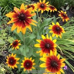 Σπόροι λουλουδιών μαυρομάτικα Susan 1.55 - 1