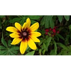 Σπόροι λουλουδιών μαυρομάτικα Susan 1.55 - 2