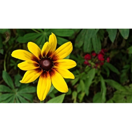 Brown-eyed Susan Seeds medicinal herb 1.55 - 2