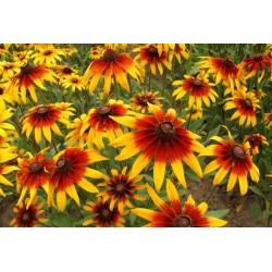 Σπόροι λουλουδιών μαυρομάτικα Susan 1.55 - 3