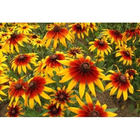Semillas de Rudbeckia Bicolor hierba medicinal 1.55 - 3