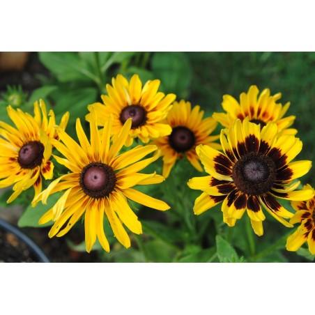 Semillas de Rudbeckia Bicolor hierba medicinal 1.55 - 4