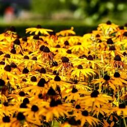 Semillas de Rudbeckia Bicolor hierba medicinal 1.55 - 5