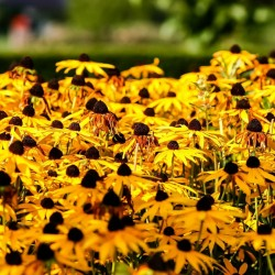Brown-eyed Susan Seeds medicinal herb 1.55 - 5