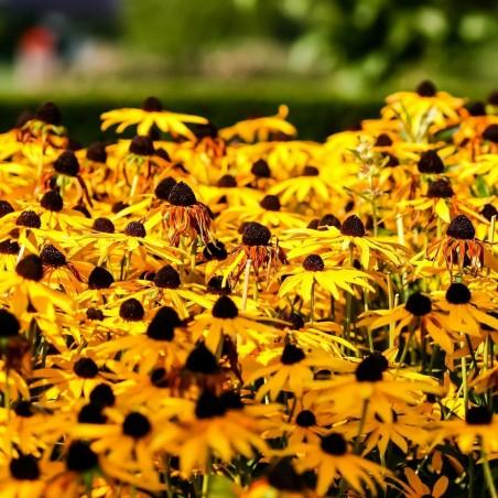 Σπόροι λουλουδιών μαυρομάτικα Susan 1.55 - 5