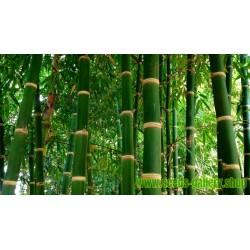 Male bamboo Frön - Calcutta bamboo