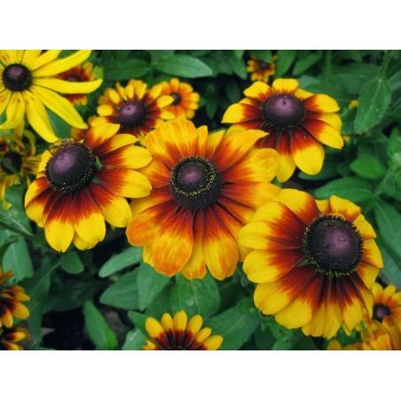 Semillas de Rudbeckia Bicolor hierba medicinal 1.55 - 6