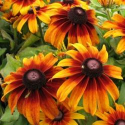 Sonnenhut Samen Heilpflanze