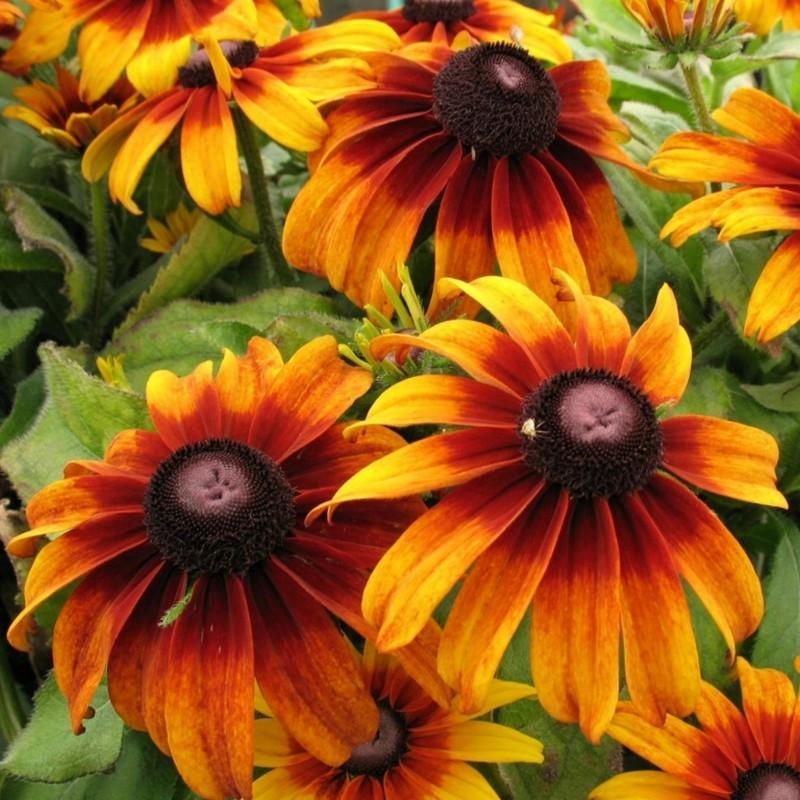 Semillas de Rudbeckia Bicolor hierba medicinal 1.55 - 7
