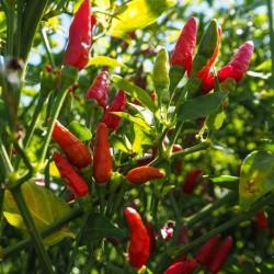 Zimbabwe Bird Chili Pods with Seeds 3.5 - 3