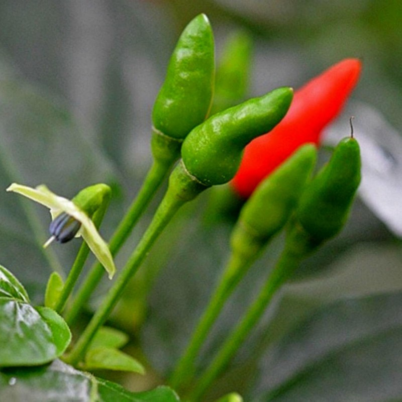 Zimbabwe Bird Chili Pods with Seeds 3.5 - 6