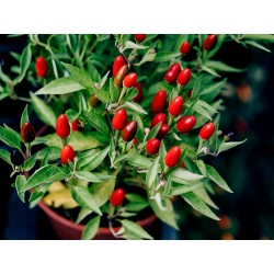 Zimbabwe Bird Chili Pods with Seeds 3.5 - 4