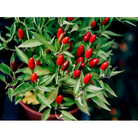 Zimbabwe Bird Chili Pods with Seeds 3.5 - 4