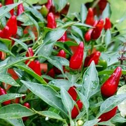 Zimbabwe Bird Chili Celi Plodovi sa Semenom 3.5 - 5