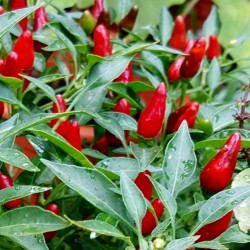 Zimbabwe Bird Chili Pods with Seeds 3.5 - 5