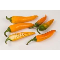 Bulgarian Carrot - Chilifrö 1.8 - 6