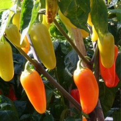 Chili Jalapeno Numex Pinata Frön 1.75 - 1
