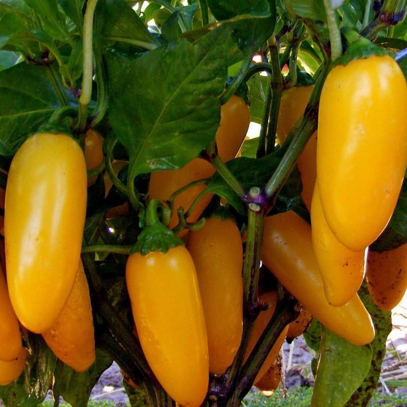 Chili Jalapeno Numex Pinata Frön 1.75 - 3