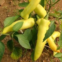 Chilipeppar Hungarian Hot Wax ekologiskt frö 2 - 2