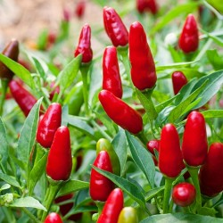 Thai Hot Culinary Chili Seeds 2 - 1