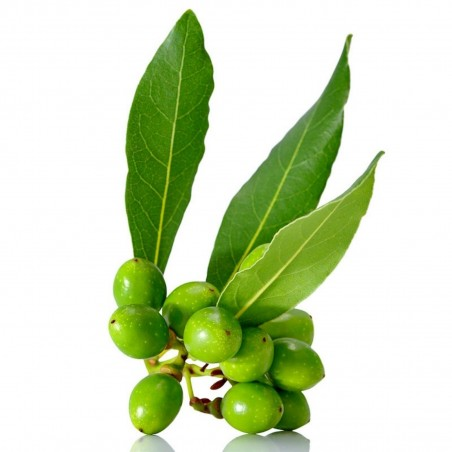 Echter Lorbeer, Edler Lorbeer, Gewürzlorbeer 100 Samen (Laurus nobilis) 15 - 1