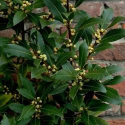 Echter Lorbeer, Edler Lorbeer, Gewürzlorbeer 100 Samen (Laurus nobilis) 15 - 2