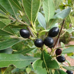 Semillas de Laurel o Lauro (Laurus nobilis) 1.95 - 8