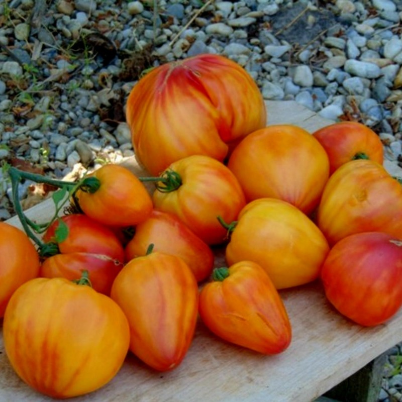Orange Russian Tomato Seeds 1.8 - 4