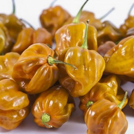 Habanero Mustard Dark Orange Seme 1.85 - 1