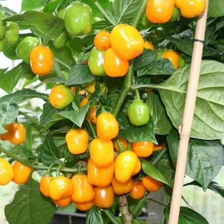 Semillas de Pimientos Habanero Apple Orange