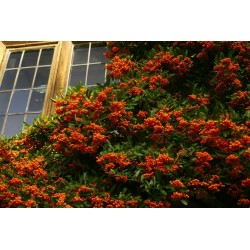 Scarlet Firethorn Seeds 1.5 - 1