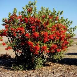 Scarlet Firethorn Seeds 1.5 - 2