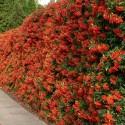Semillas de ASHITABA Rey de Plantas Medicinales (Angelica keiskei Koidzumi)