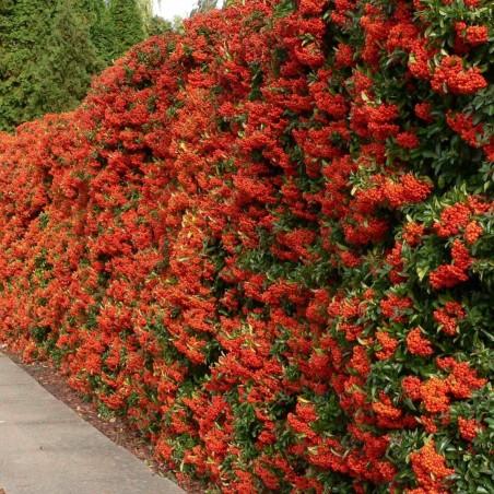 Scarlet Firethorn Seeds 1.5 - 5