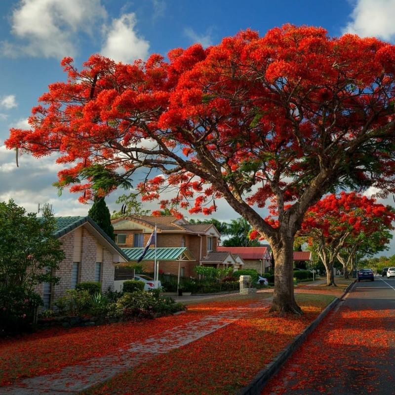 Sementes de Flor-Do-Paraíso, Pau-Rosa (Delonix regia) 2.25 - 1