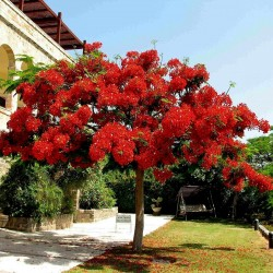 Το Δέντρο της Φωτιάς Σπόροι (Delonix regia) 2.25 - 2
