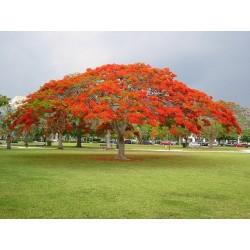 Sementes de Flor-Do-Paraíso, Pau-Rosa (Delonix regia) 2.25 - 4