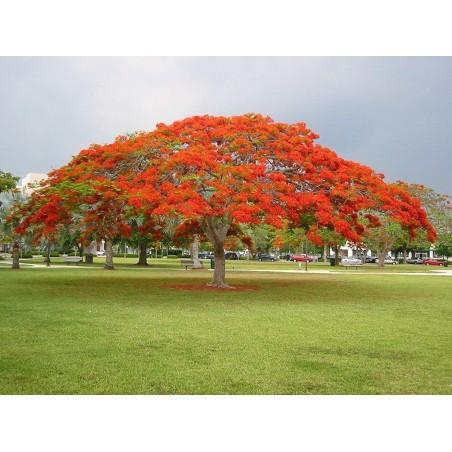 Flammenbaum Samen (Delonix regia) 2.25 - 4