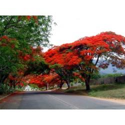 Sementes de Flor-Do-Paraíso, Pau-Rosa (Delonix regia) 2.25 - 5