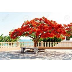Sementes de Flor-Do-Paraíso, Pau-Rosa (Delonix regia) 2.25 - 6