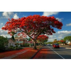 Το Δέντρο της Φωτιάς Σπόροι (Delonix regia) 2.25 - 7