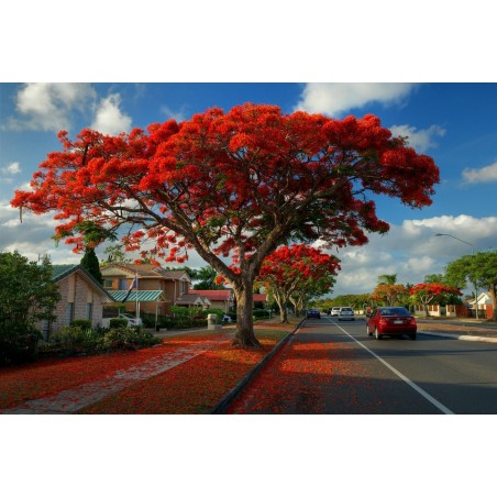 Royal Poinciana, Flamboyant Seeds (Delonix regia) 2.25 - 7